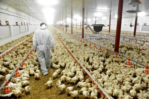 Factory farmed chickens are bad enough without an over sea voyage